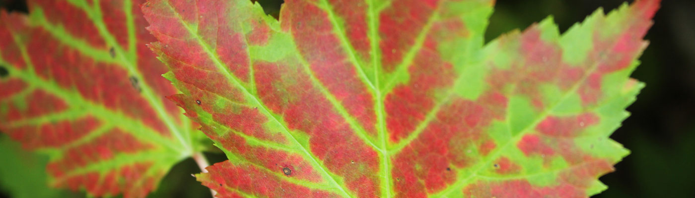 Red-or-Green-Fall-Folaige_top